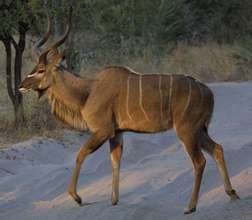 The Greater Kudu