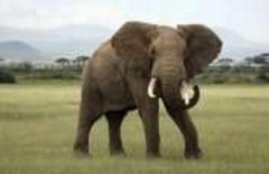 Help Save Elephants in Kenya!