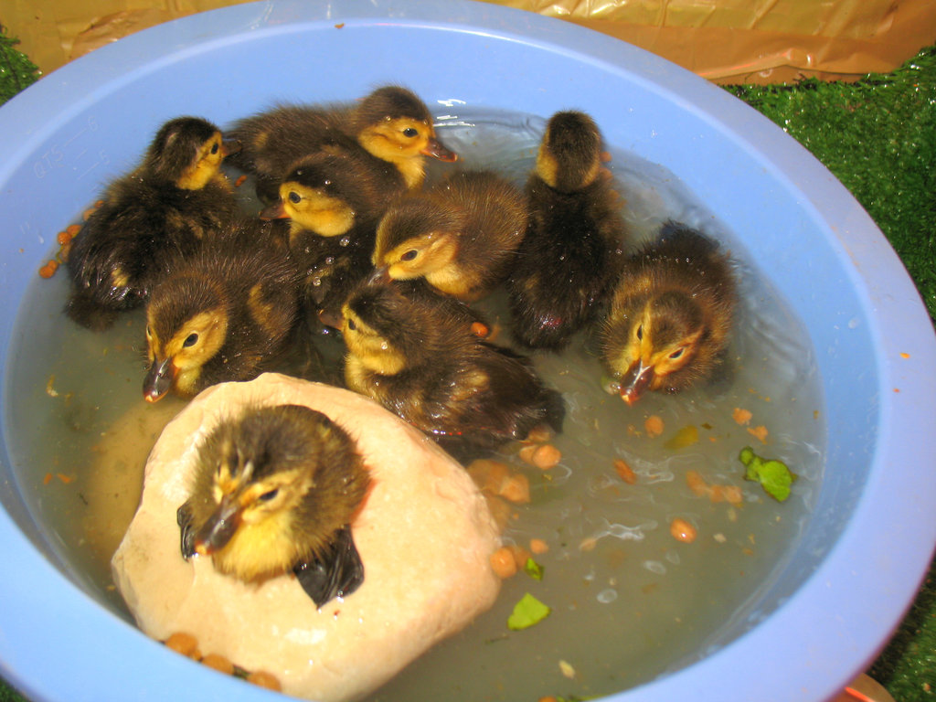 These ducklings are now all grown up!