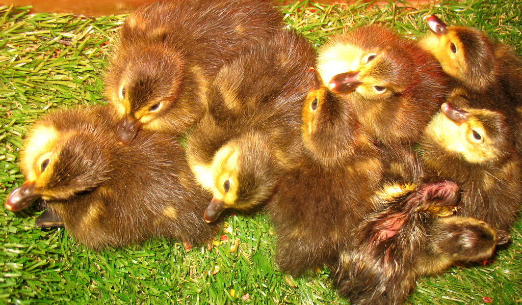 New ducklings have hatched!