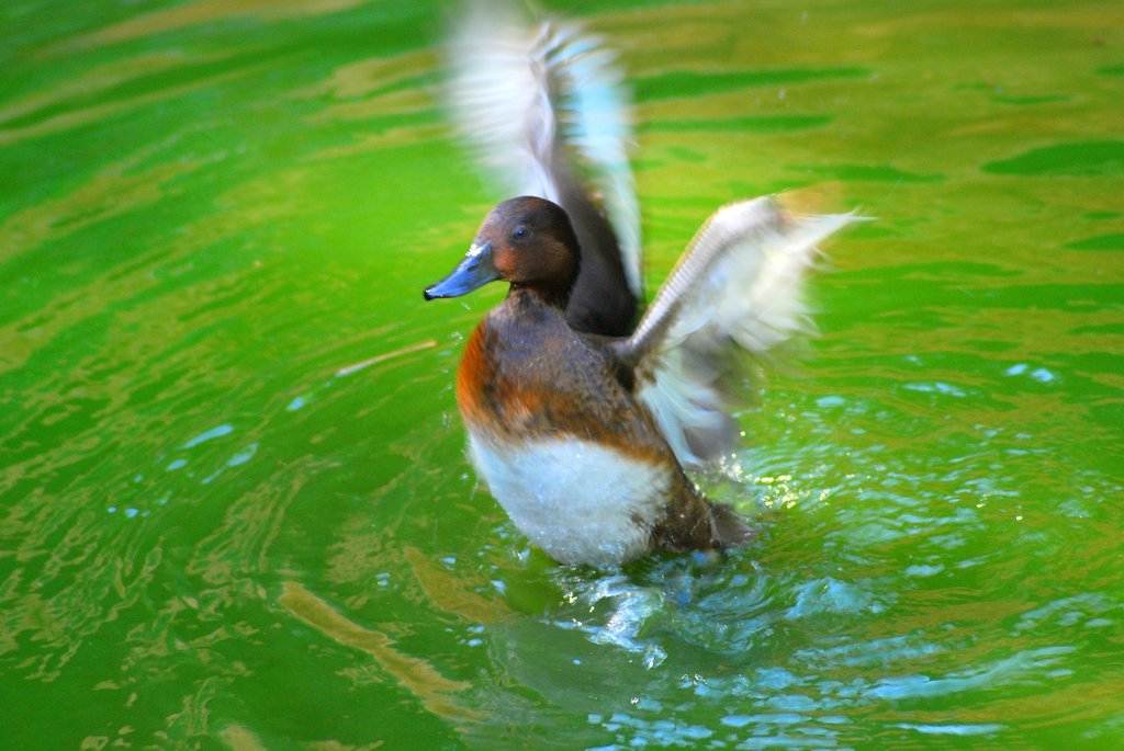 A Diving Duck in the Zoo