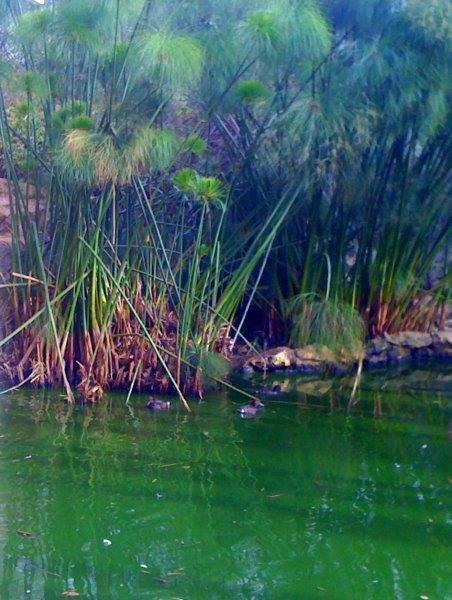 Diving Ducks swimming in the Marsh Aviary Exhibit