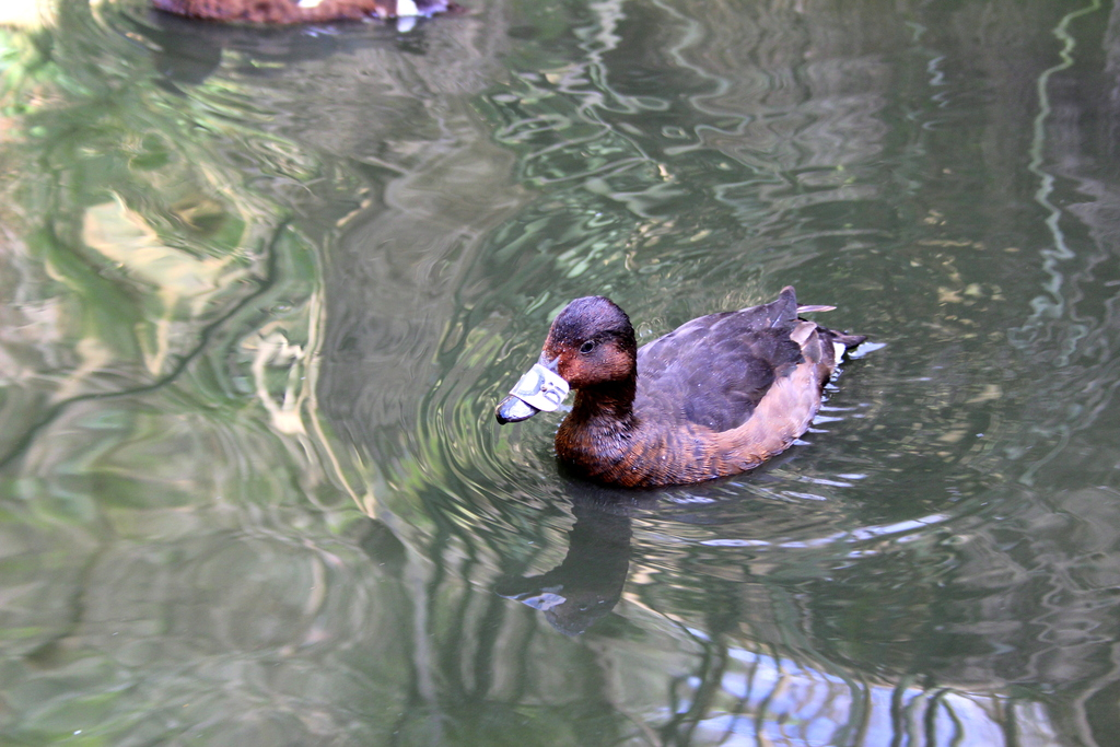 A duck from our breeding core in the Marsh Aviary