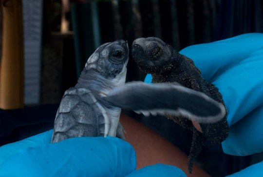pacific green hatching meeting an Olive Ridley!
