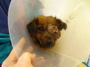 dog with tumor brought for treatment to HAH