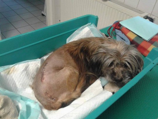 sweet elderly dog following surgery by HAH