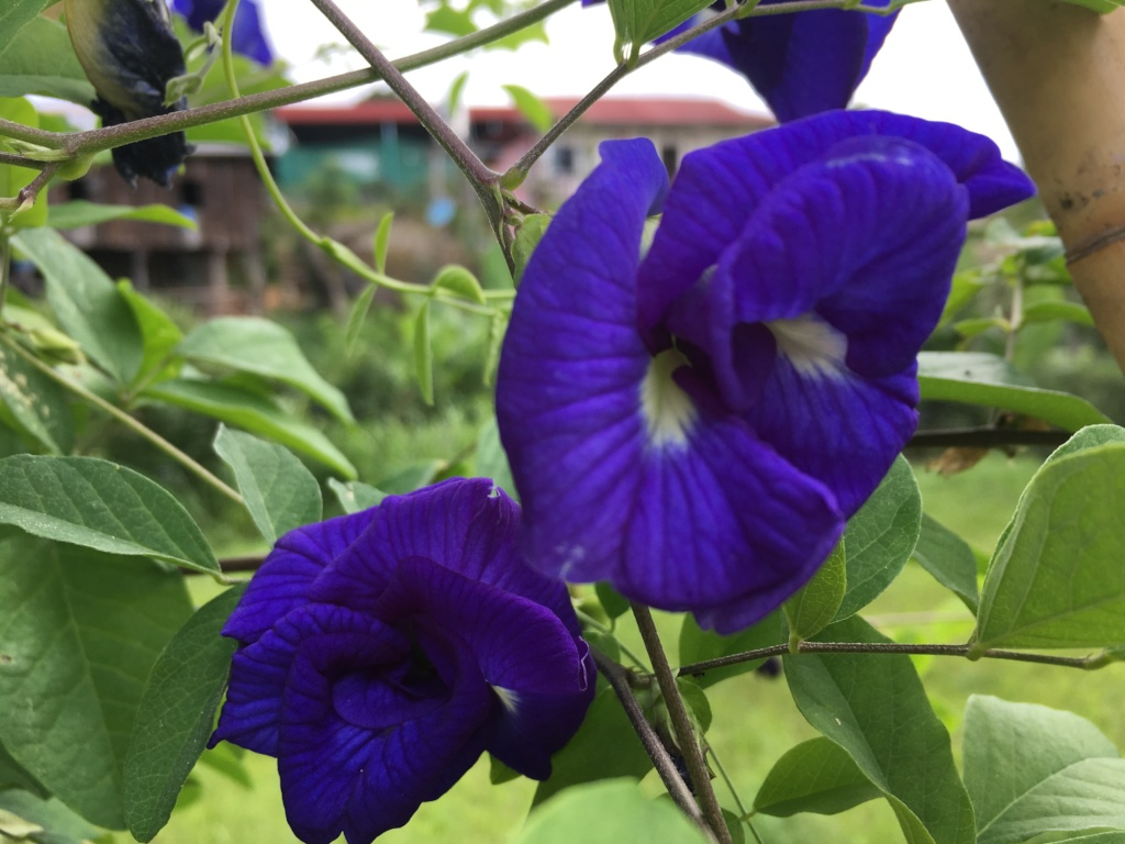 Organic butterfly pea grown here at Sprouting Seed