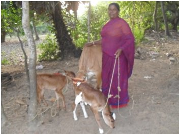 Mrs.Manibala with her cows