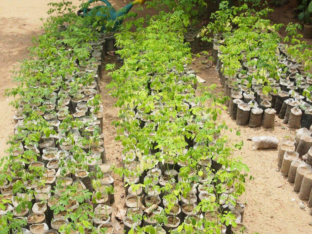 Murungai Keerai (Drumstick Tree) Seedlings