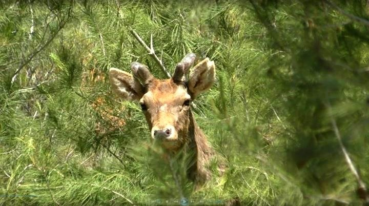 A young male deer is spotted in the wild