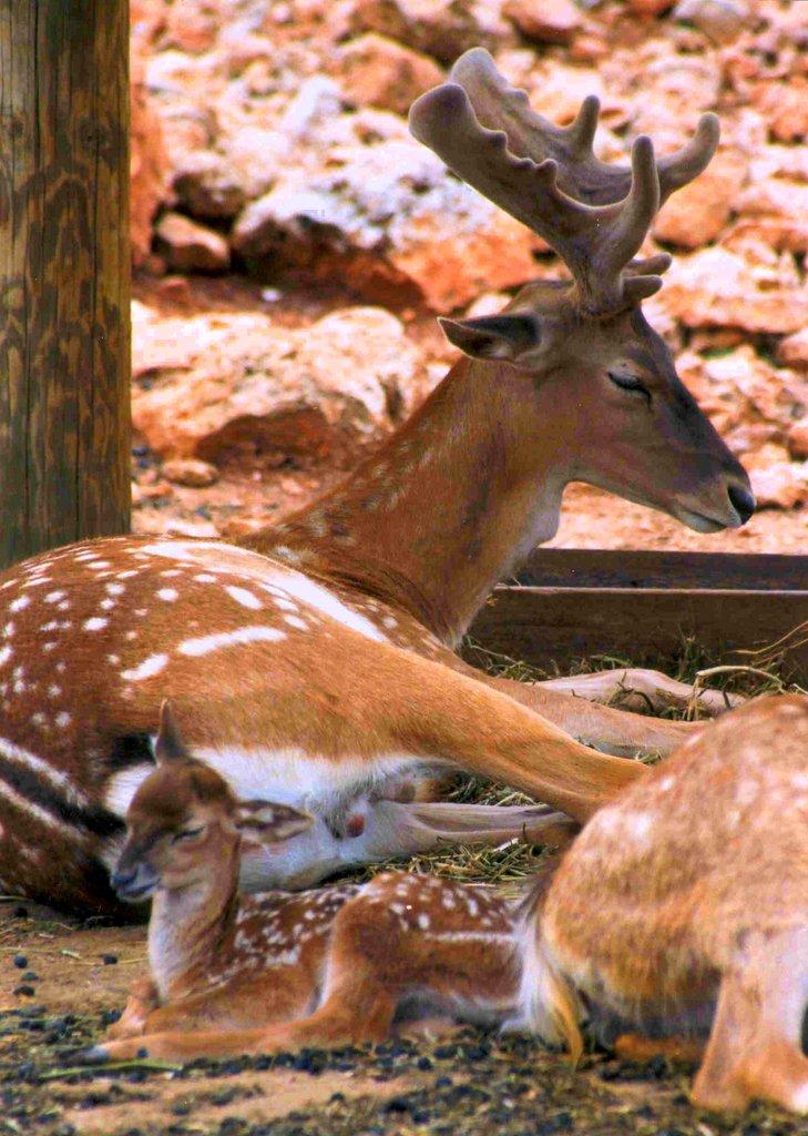 Baby Persian Fallow Deer