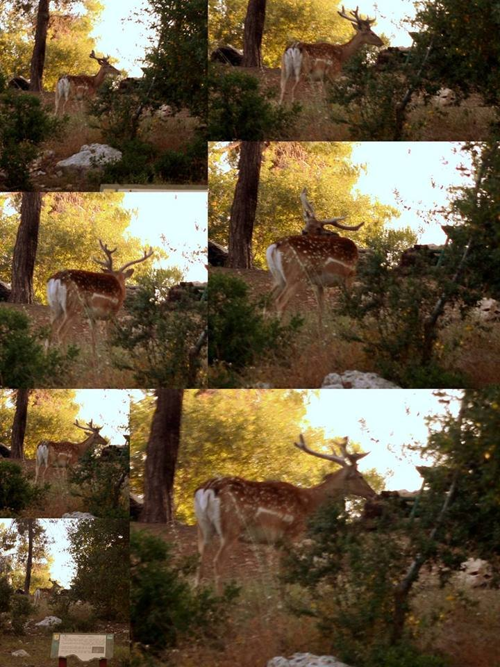 Camera trap images of a released male