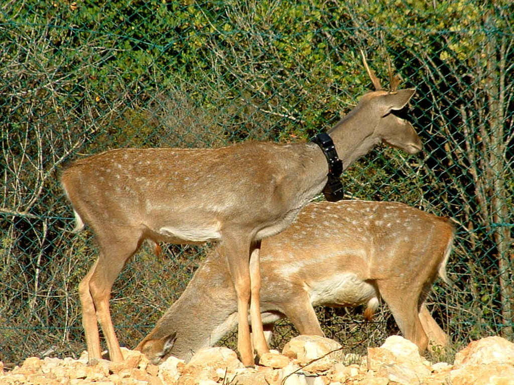 Deer are fitted with tracking collars for release