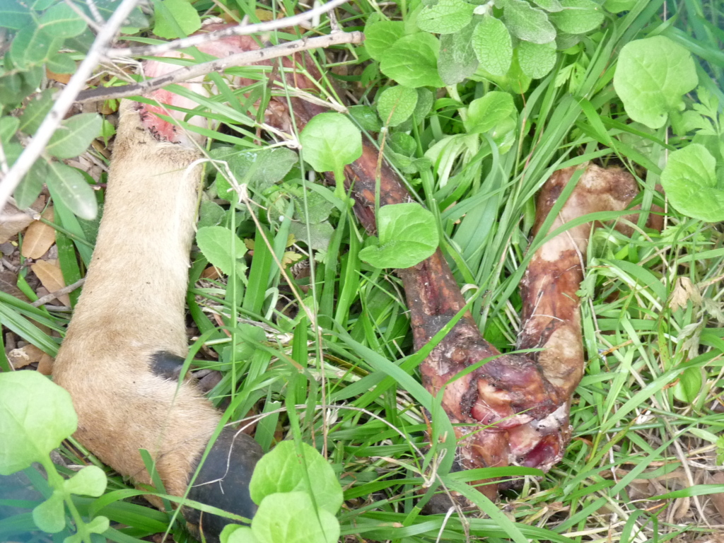 Remains of a deer hunted by feral dogs