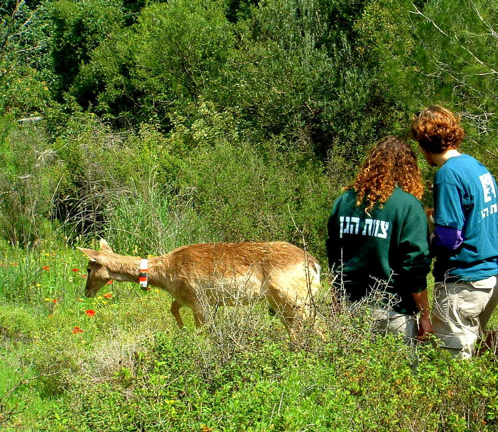 Bringing Biblical Deer to the Holy Land