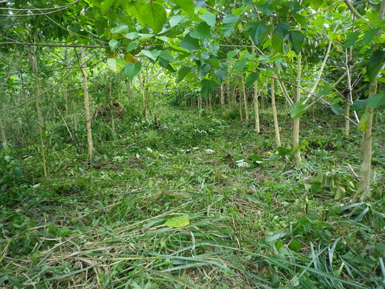 Forest plantation weeded