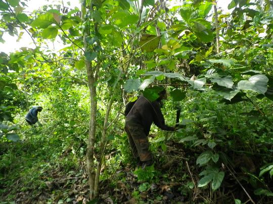 Workers weeding teak plantation