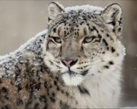 Snow leopard in the wild