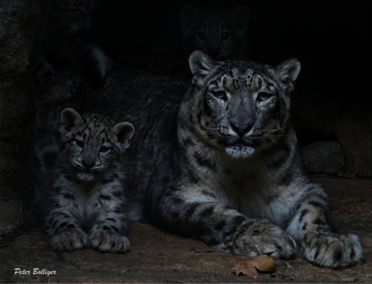 Courtesy of WISN Partner Snow Leopard Conservancy
