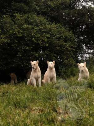 Three new cubs on white lion territories