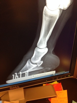 A normal hoof and coffin bone x-ray