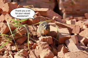 A dassie in the bricks...