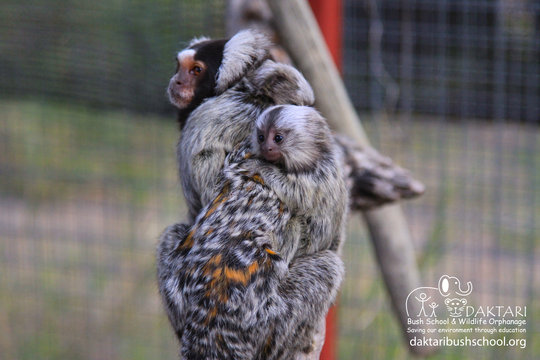 Help us spoil our baby Marmosets