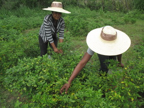 Kettelyne (on left) harvests hot peppers