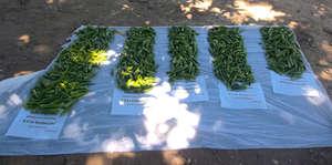 Comparing okra harvests
