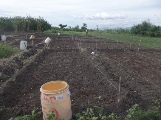 Preparing fields for an onion experiment