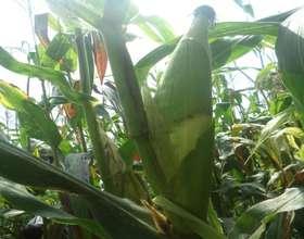 Ears of corn at maturity