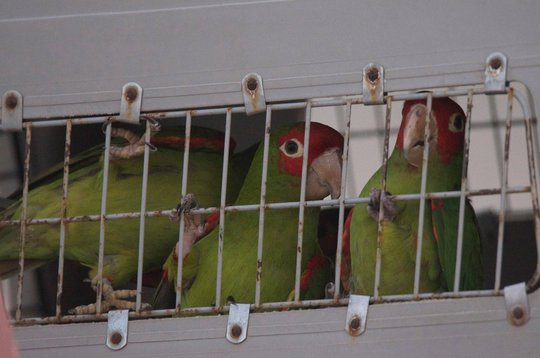 Red-masked conures ready for release
