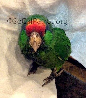 Parrot with BB injury.