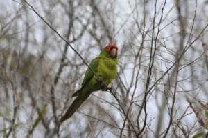 Red-masked conure hanging out