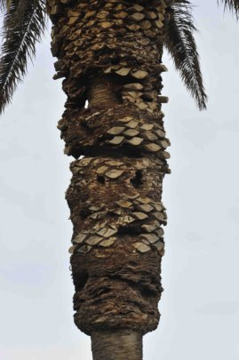 Canary Island date palm with cavities