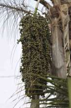 Palm trees supply food as well as shelter