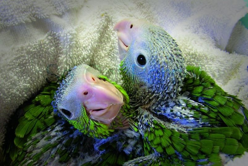 Help save injured and orphaned wild parrots