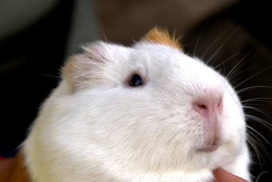 One of our program guinea pigs (aka cuyes).