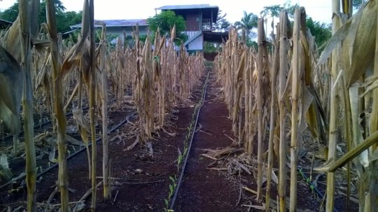 Drip irrigation allows corn to grow in dry season
