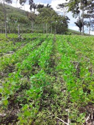 Bean crop.