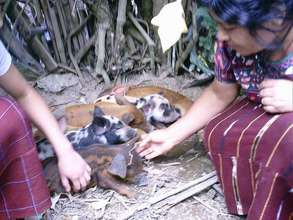 Farmers caring for piglets