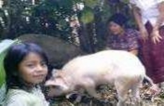 Guatemala: Pigs for Women Farmers