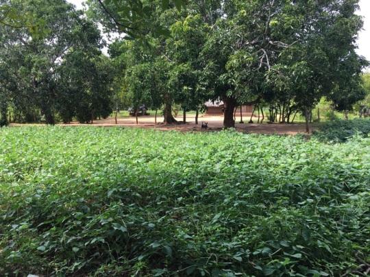 Cultivation full of black eyed peas in farmland