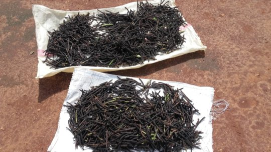 Dried mung beans as seeds for cultivation