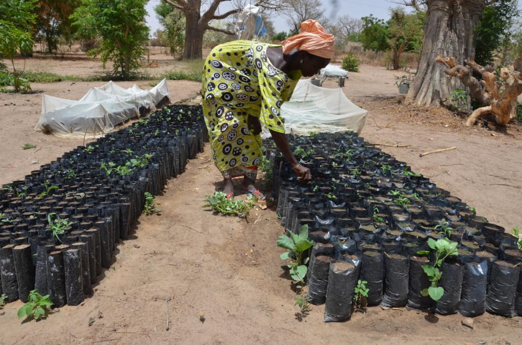 Preparing tree saplings for reforestation