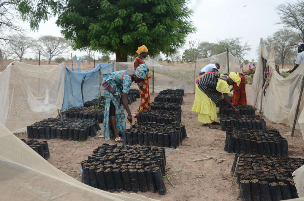 Bednets used to protect the saplings from pests