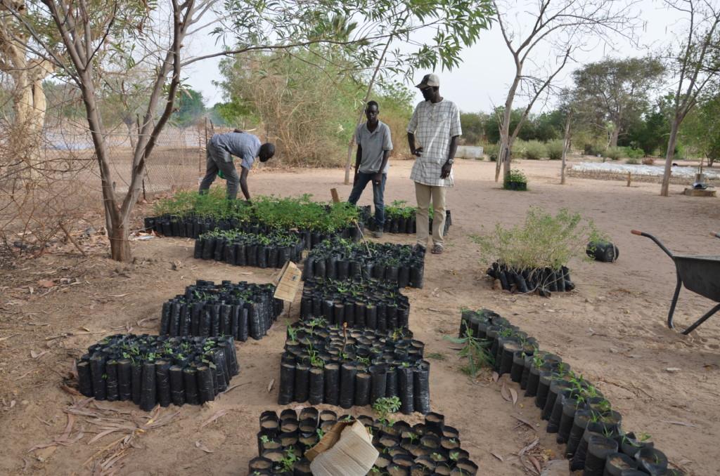 Tree seedlings ready to be planted in Diender