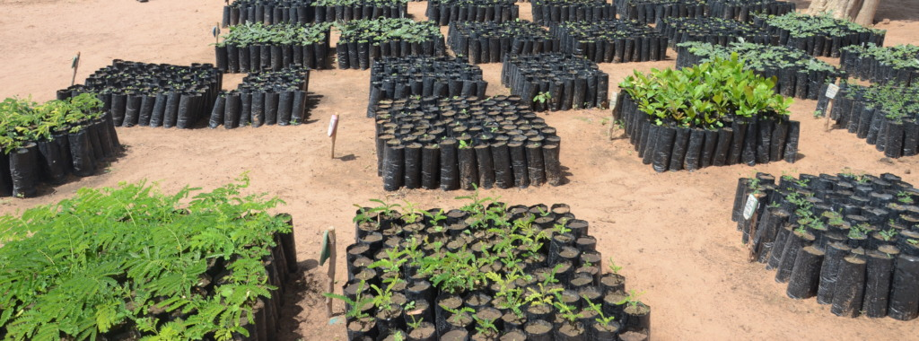 Tree saplings ready to be planted