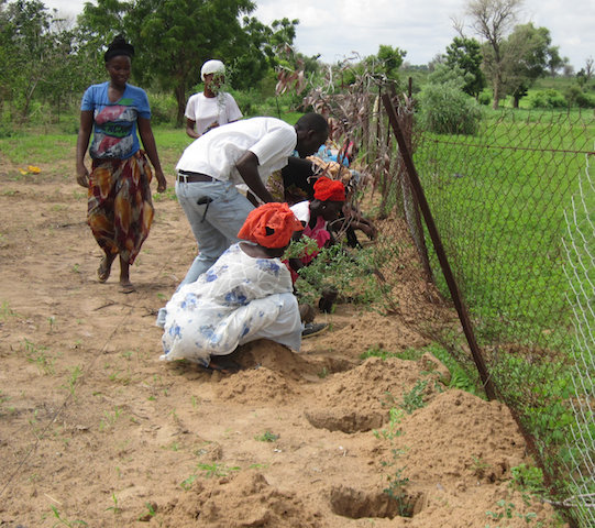 Saplings planted to form living fences in future