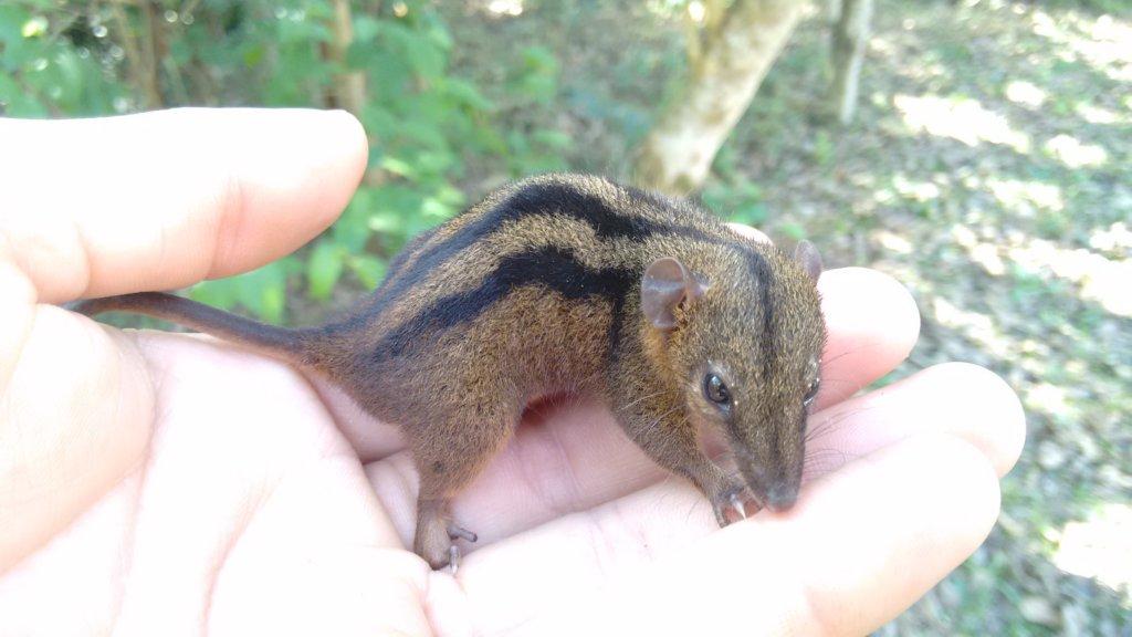 baby forest vole